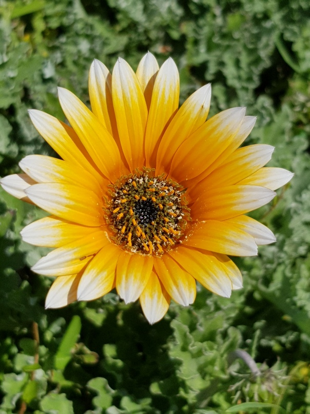 Gazania or Osteospermum