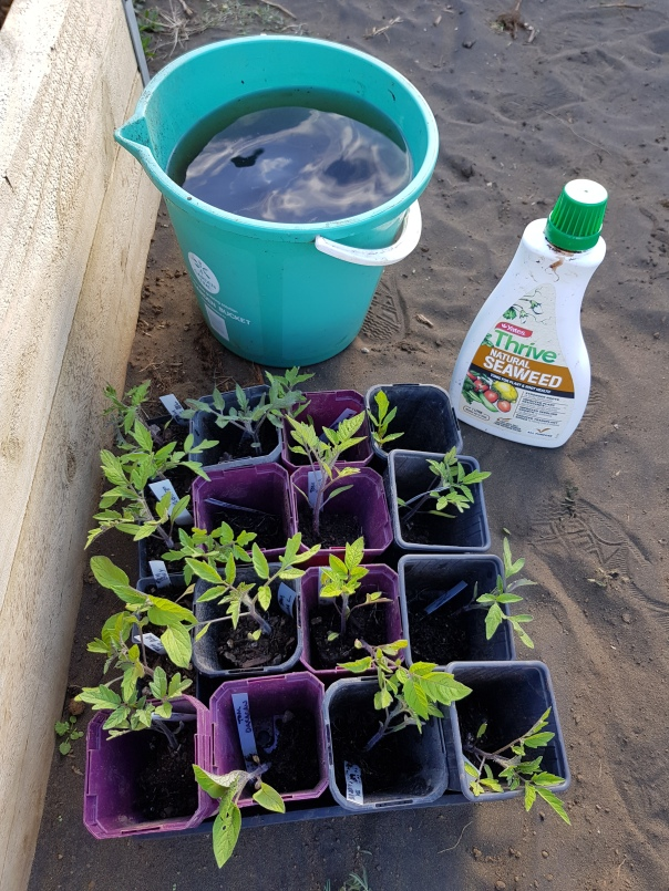 Tomato seedlings and seaweed tonicTTomato seedlings and seaweed tonic