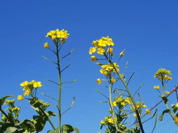 Tatsoi flowers