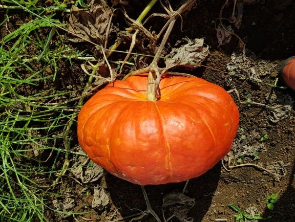 Cinderella Pumpkin Rouge vif d'etampes