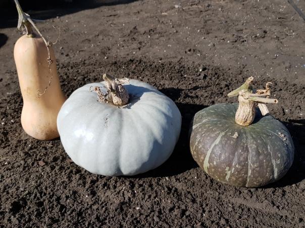 Crown Pumpkins, Butternut and Buttercup