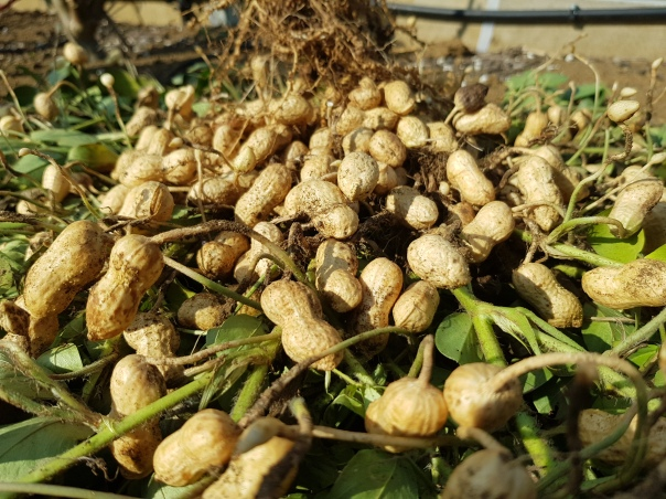 Peanut harvest