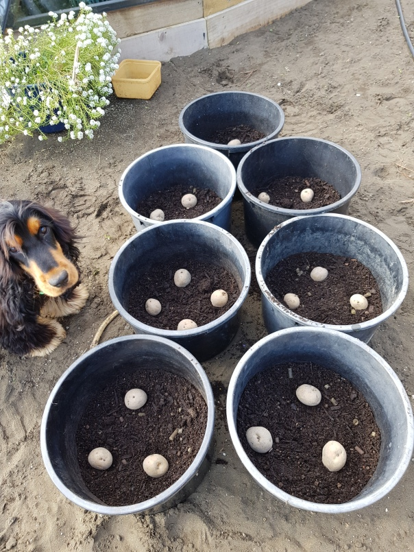 Spuds in pots