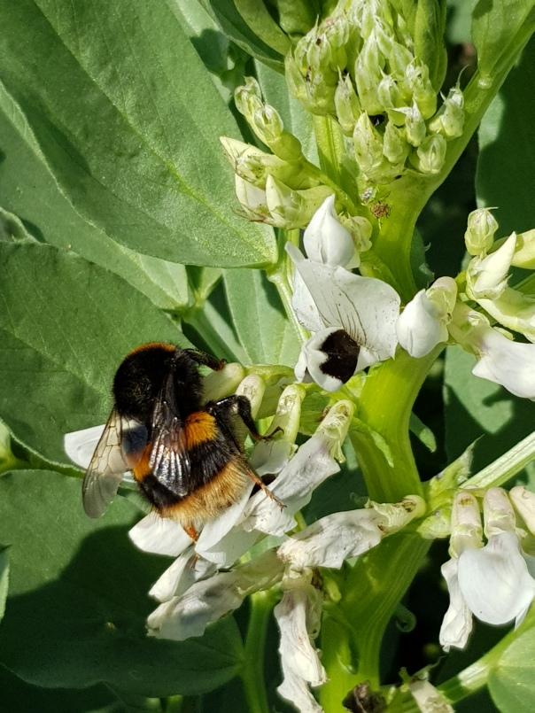 bumblebee in broadbeans