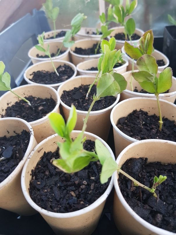 Repotting sweetpeas into paper cups