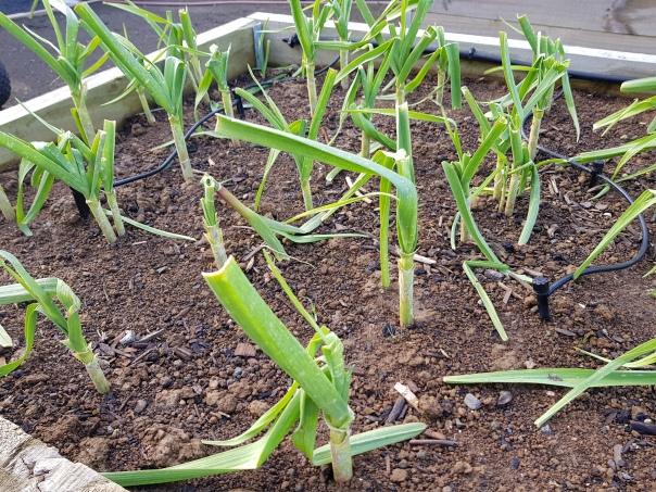 Storm damaged garlic