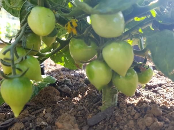 Valentino Tomatoes
