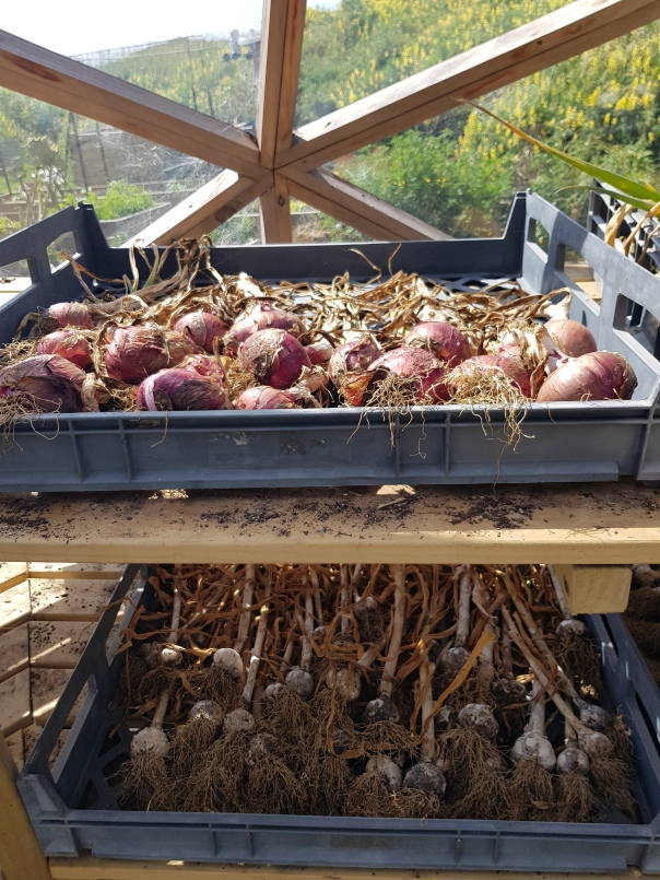Onion and garlic curing in the greenhouse
