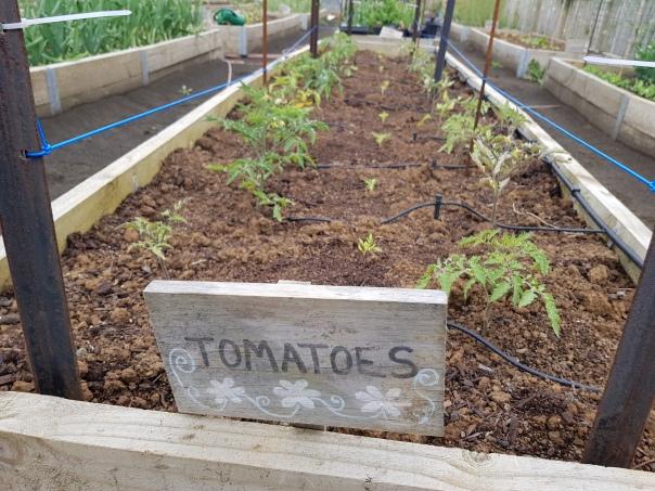 Young tomato plants