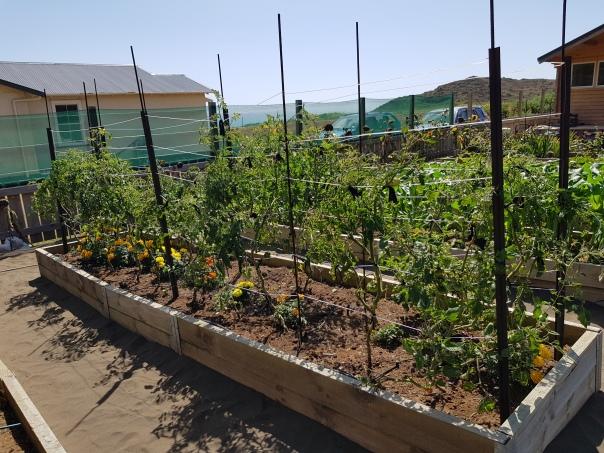 poorly tomato plants