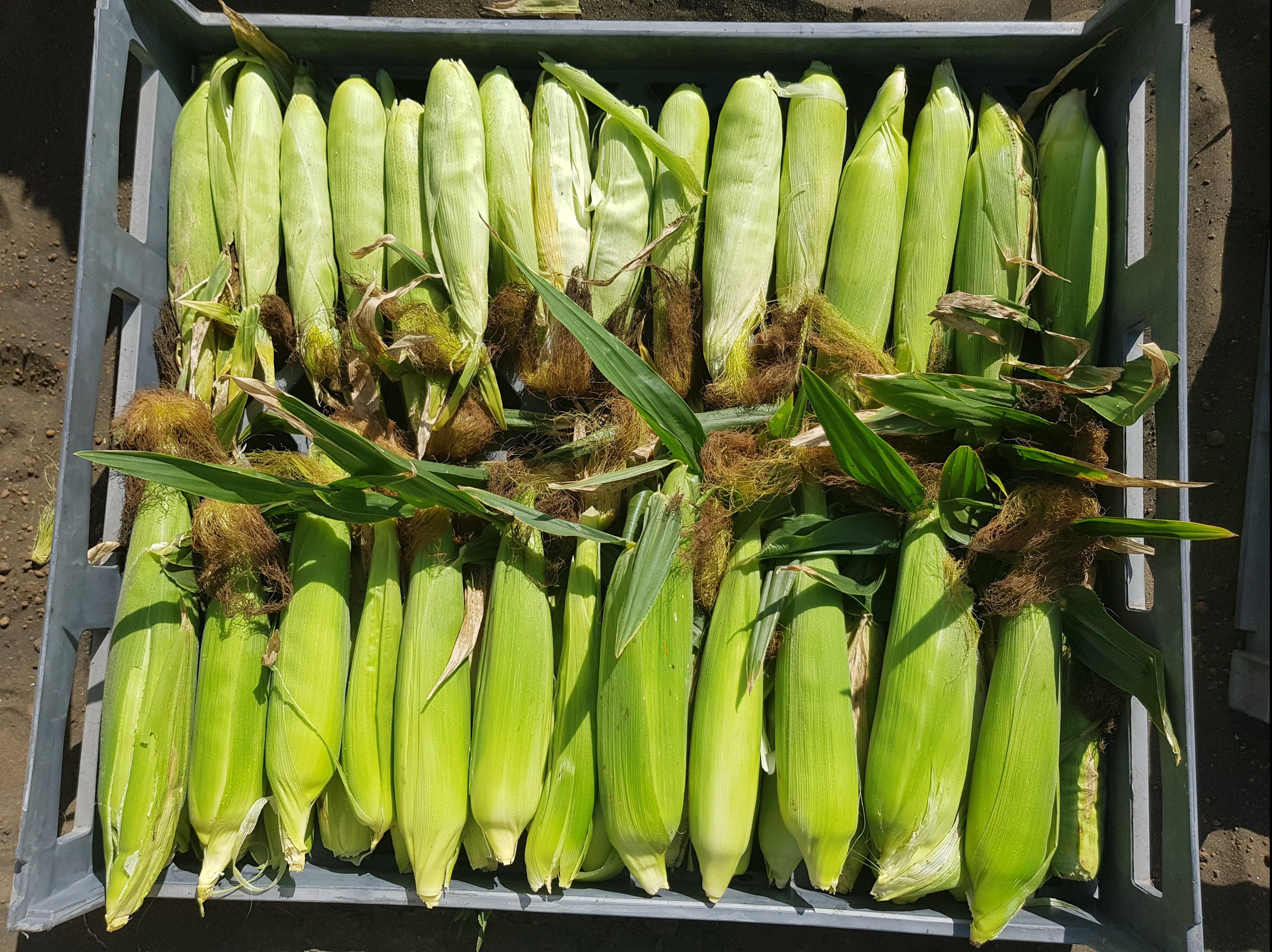 Sweetcorn harvest