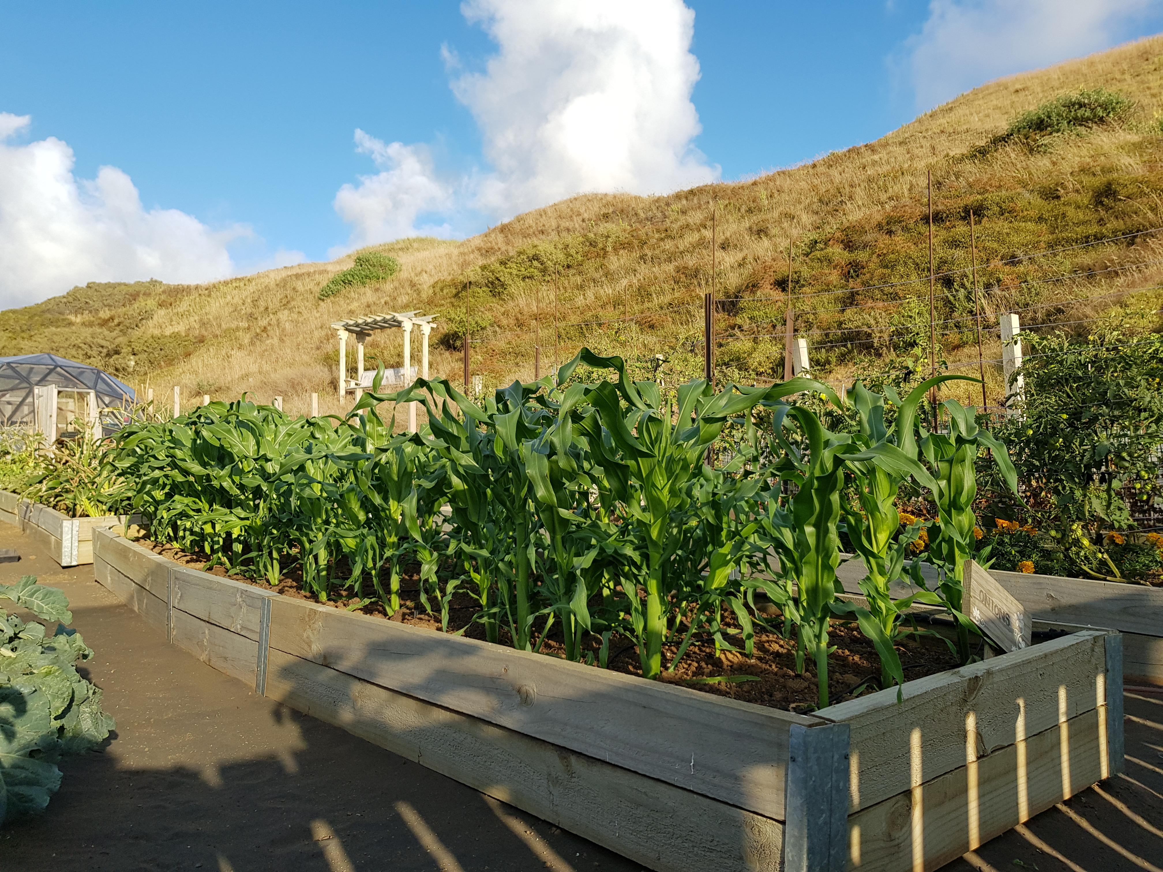 Back up corn crop