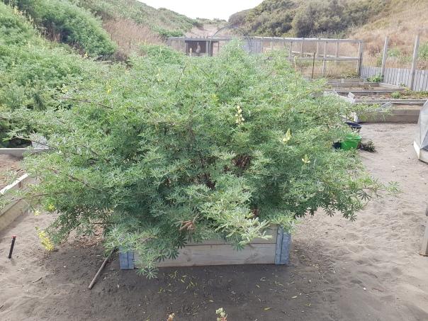 Tree lupin weed