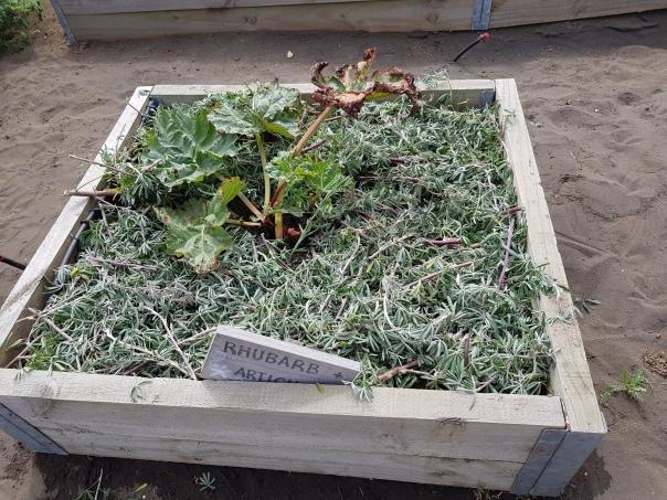 Lupin mulched rhubarb