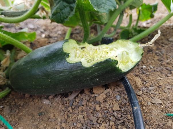 Rat eaten Cucumber