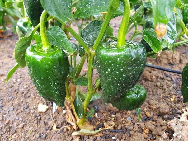 Wet peppers