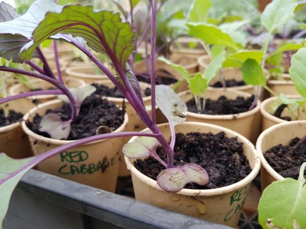 Spare seedlings