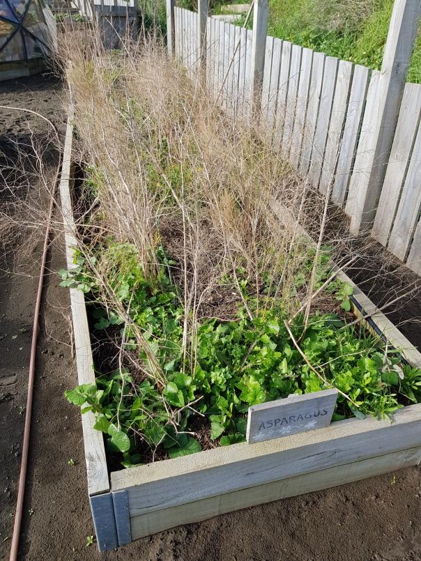 end of season asparagus bed