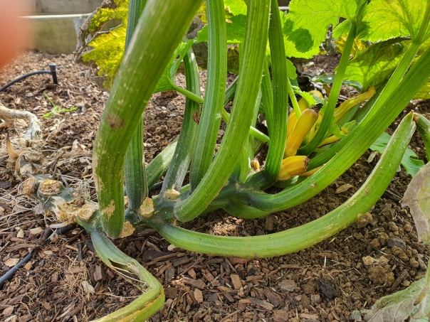 winter zucchini