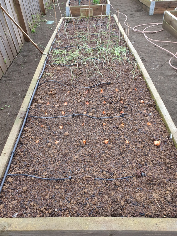 Mixed onion bed