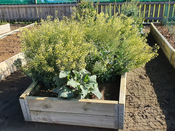 Old brassica bed