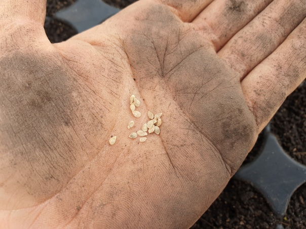 Tomato seeds in dirty hands