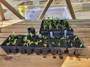 Transplanted seedlings.