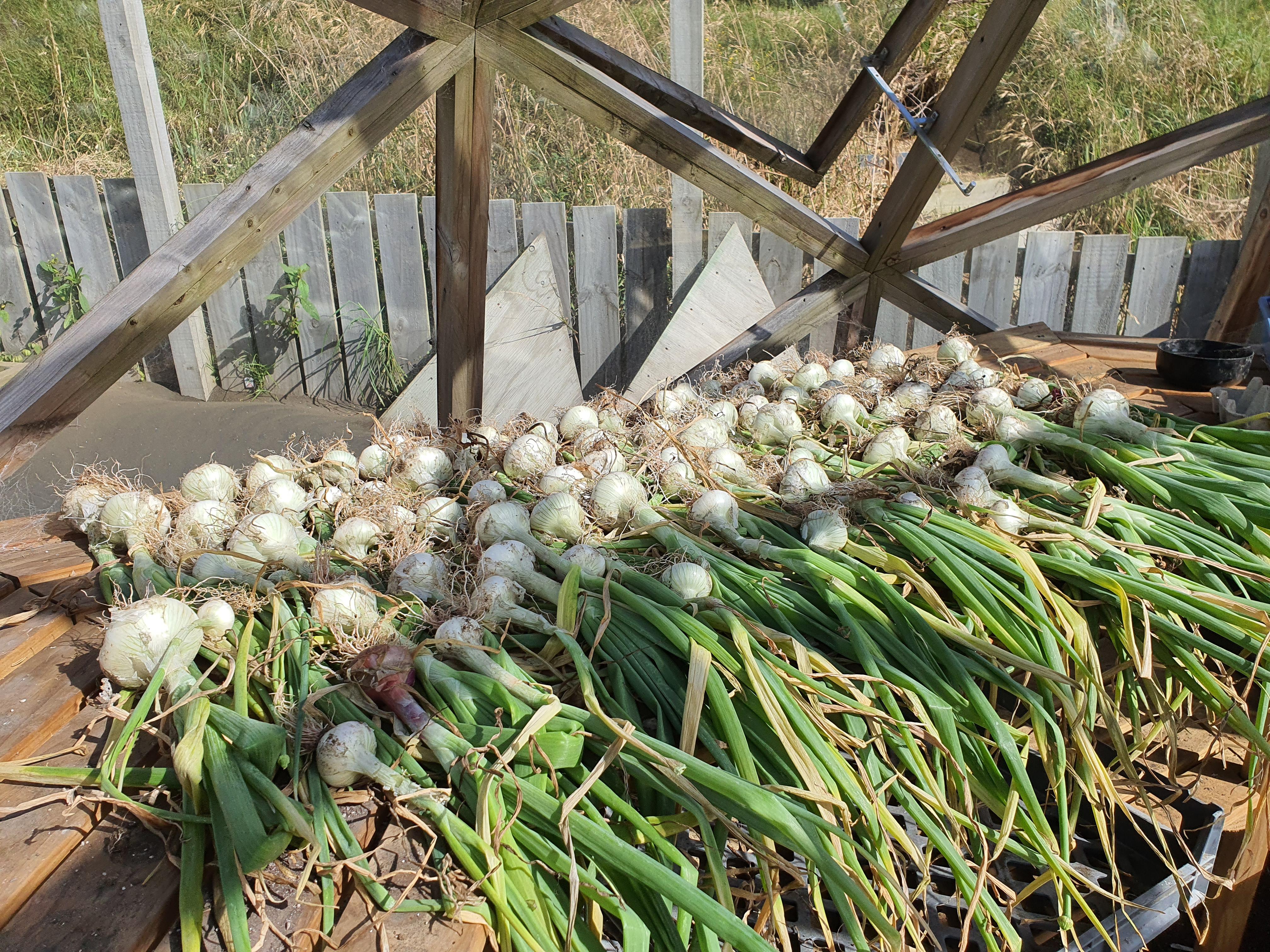Pearl Drop Onions