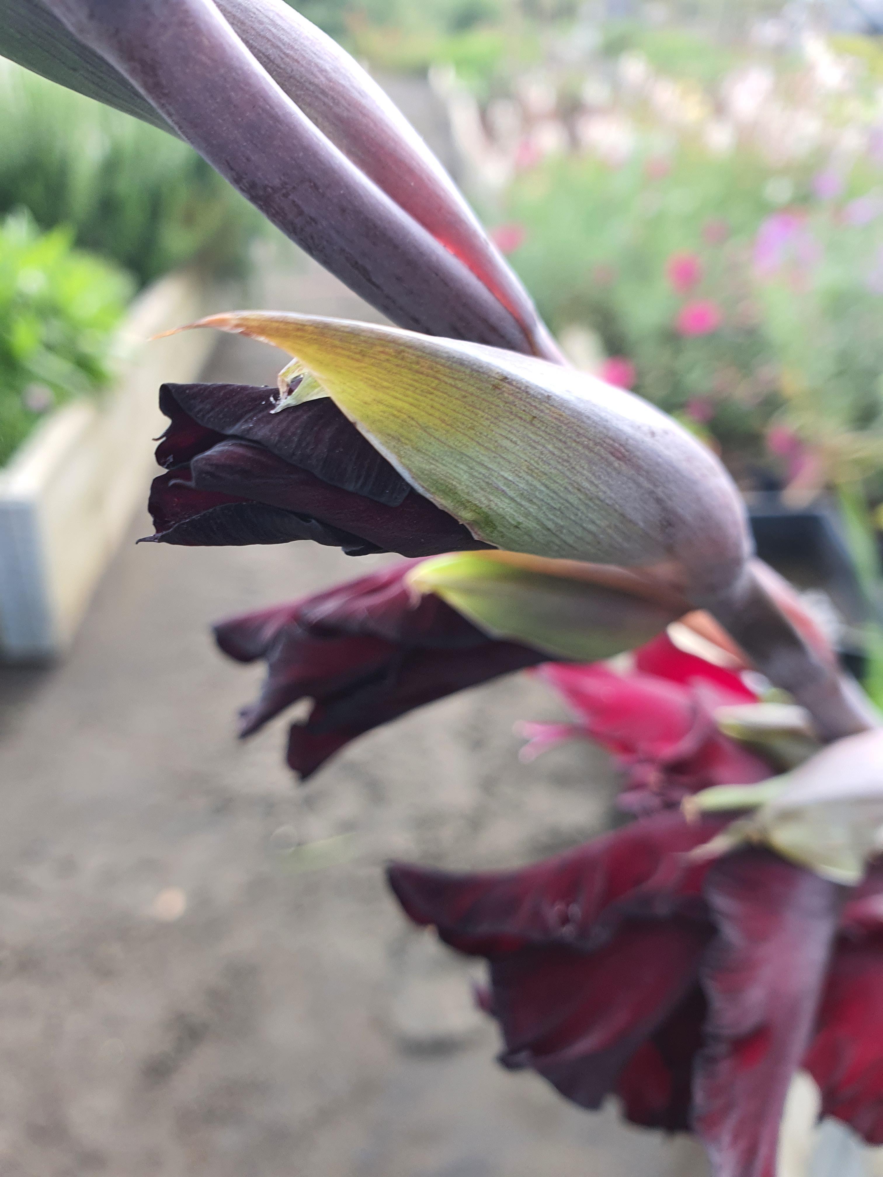 gladioli