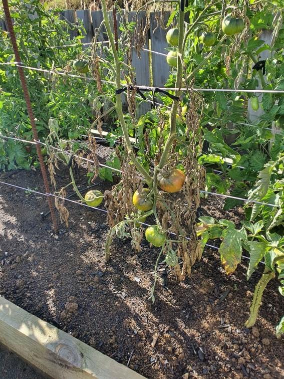 Dead tomato plant