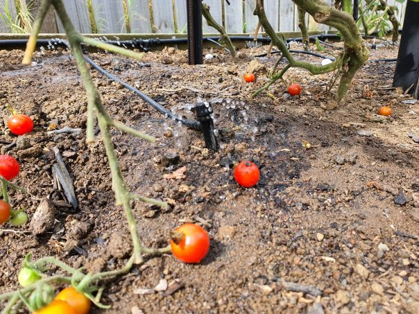 Irrigating tomatoes with drippers