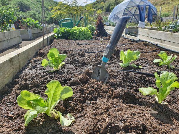 Salad succession planting
