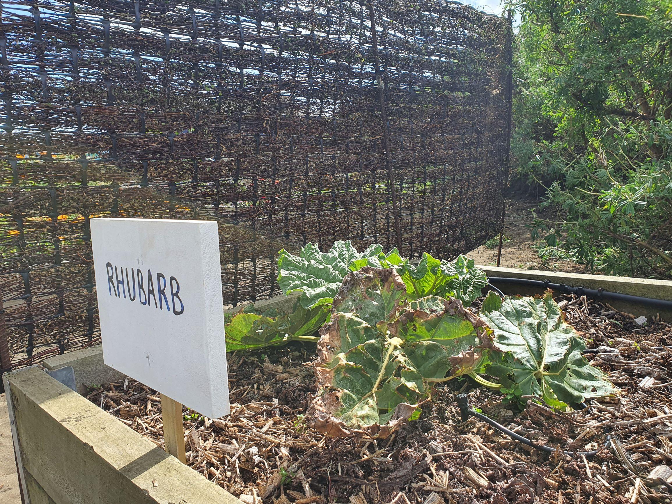 Wind protected rhubarb