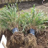 freeing pot bound lemongrass