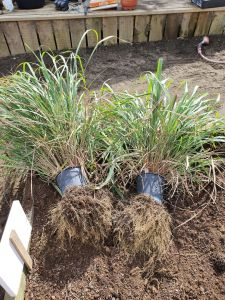 freeing pot bound lemongrass
