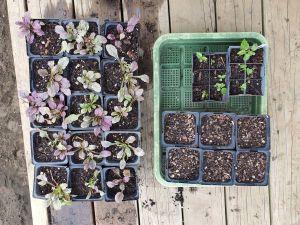 Ajuga seedlings