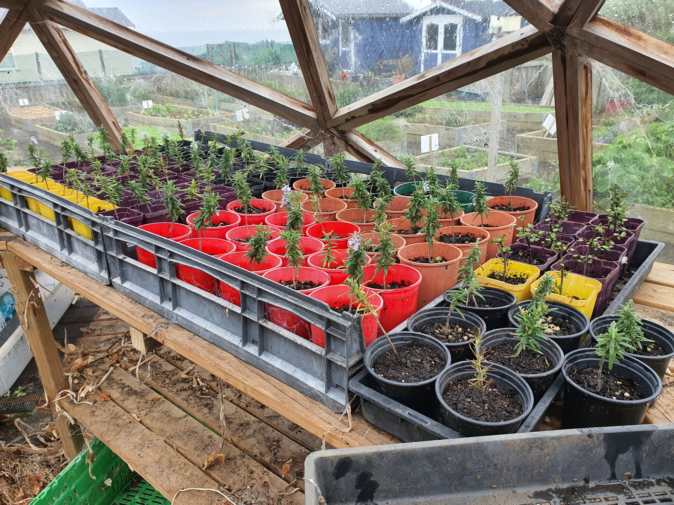 rosemary cuttings
