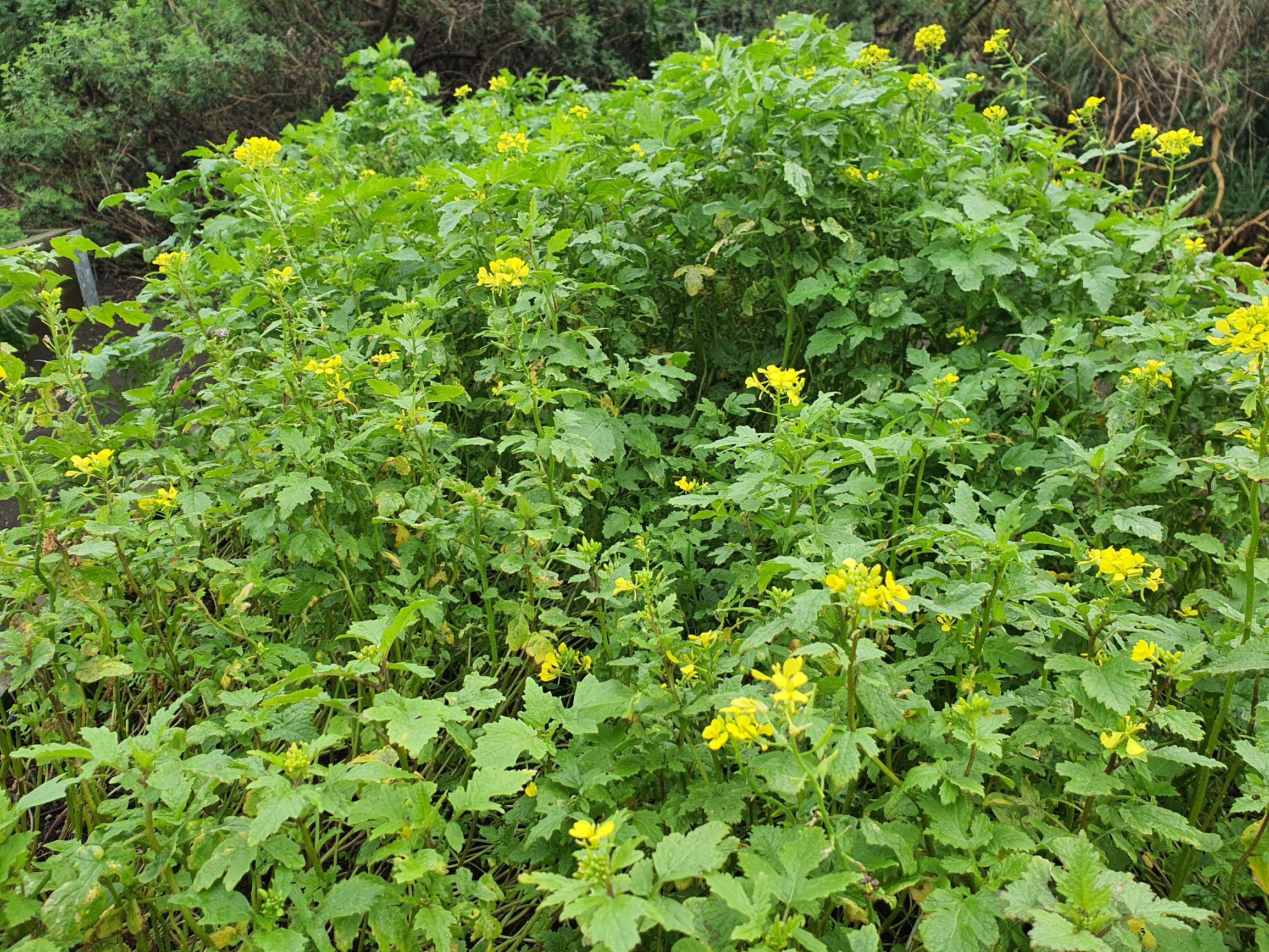 Mustard cover crop