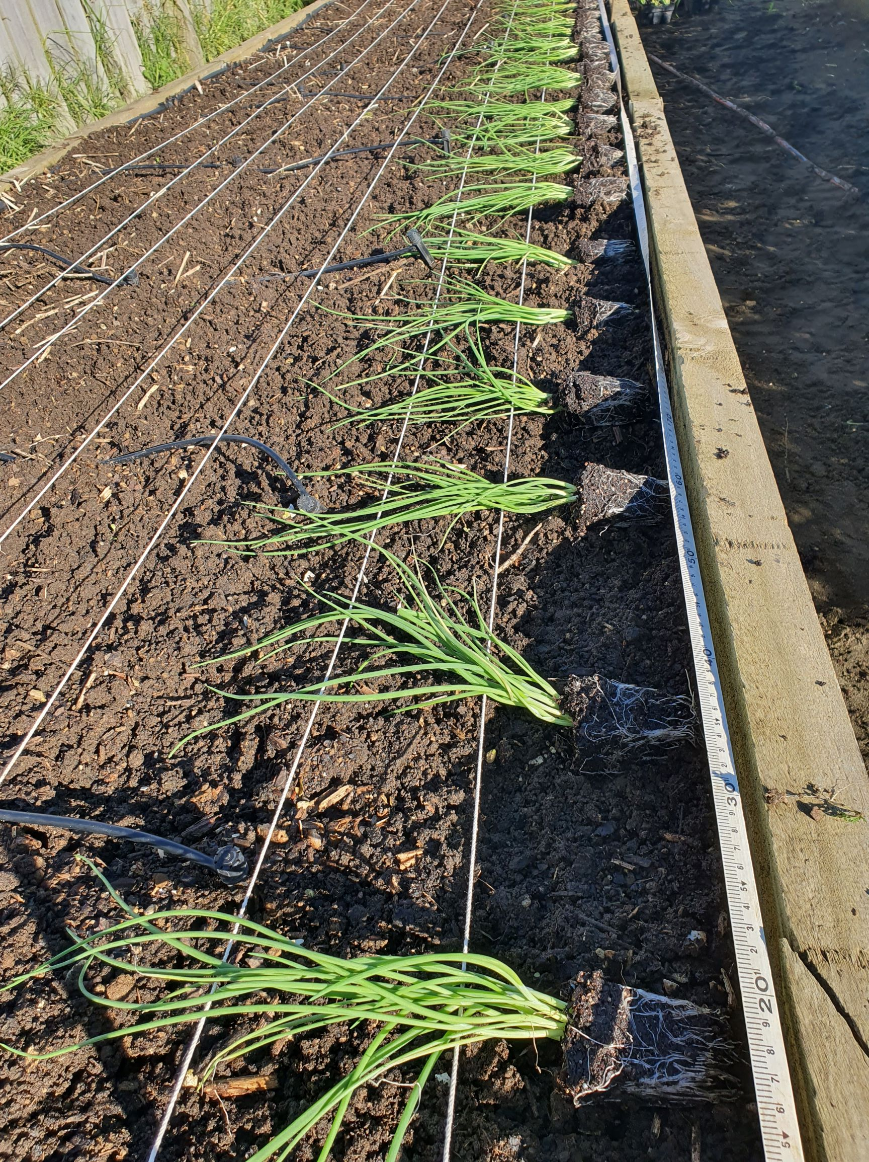 Laying out the onion seedlings