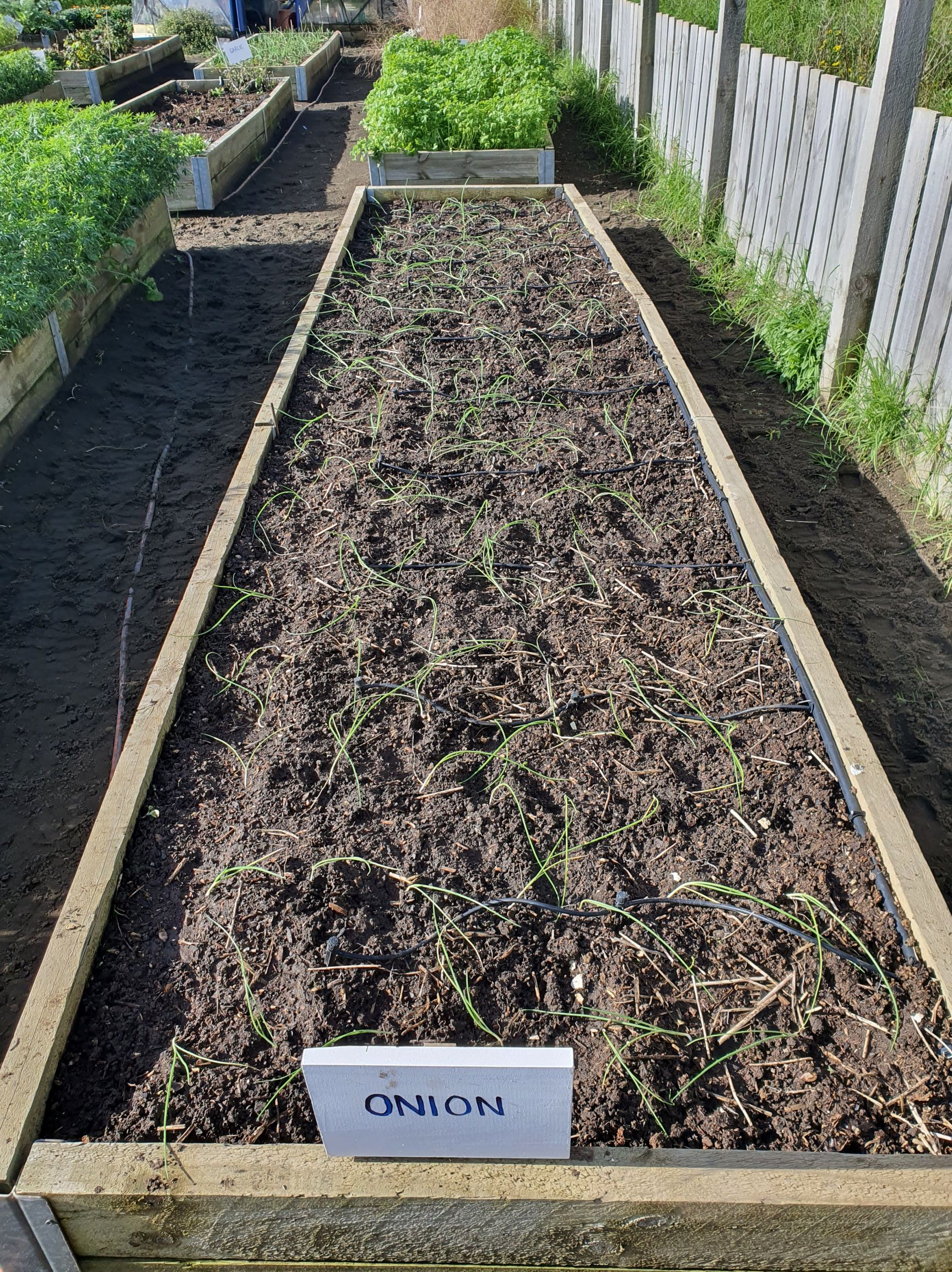 Onion bed planted