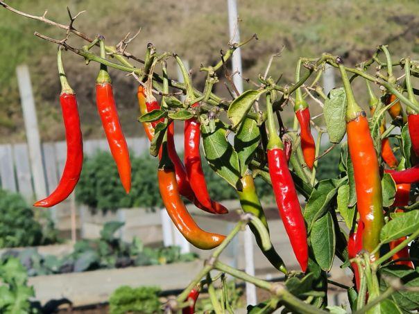 Late season chillies