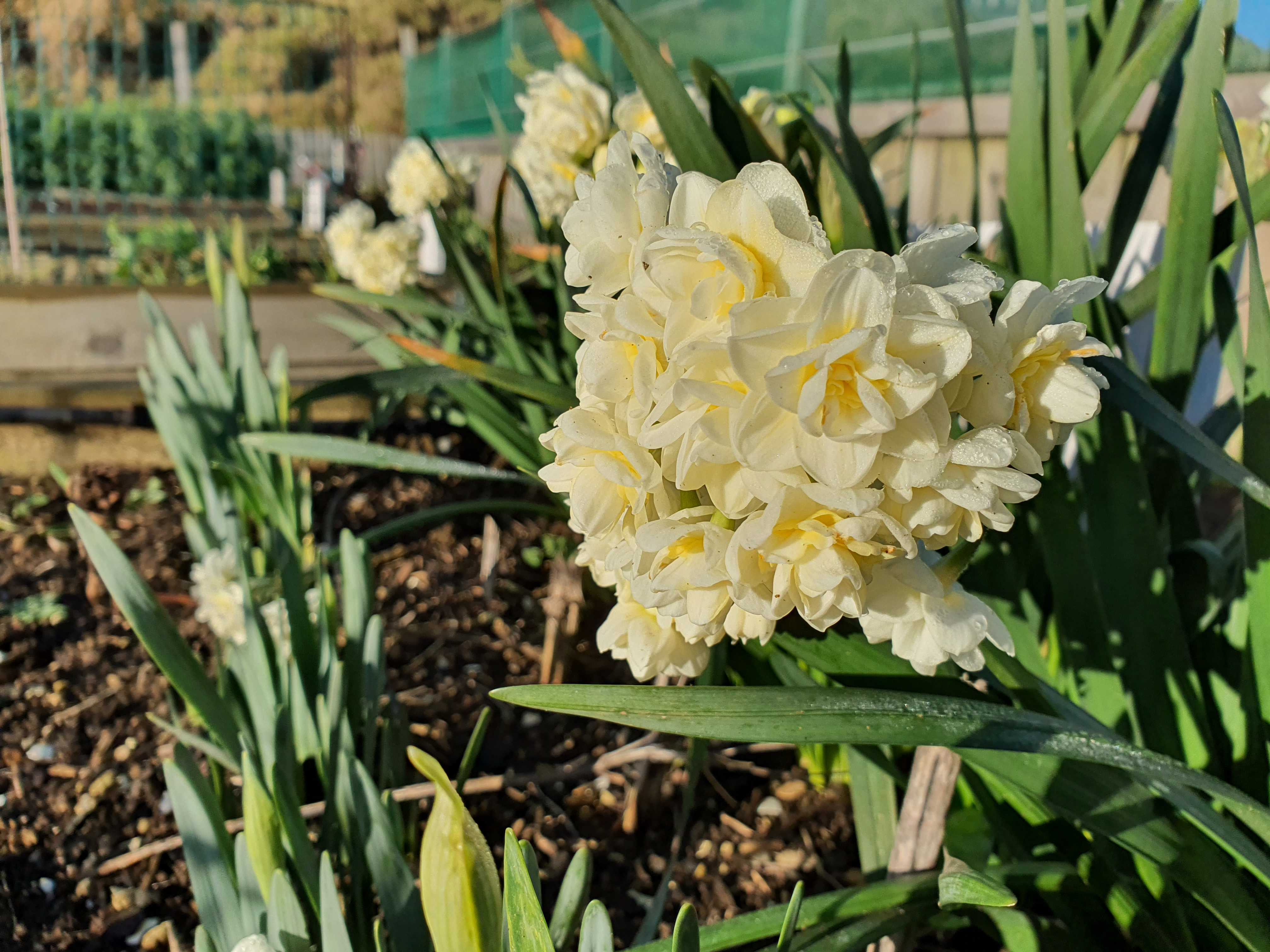 Earlicheer Daffodils