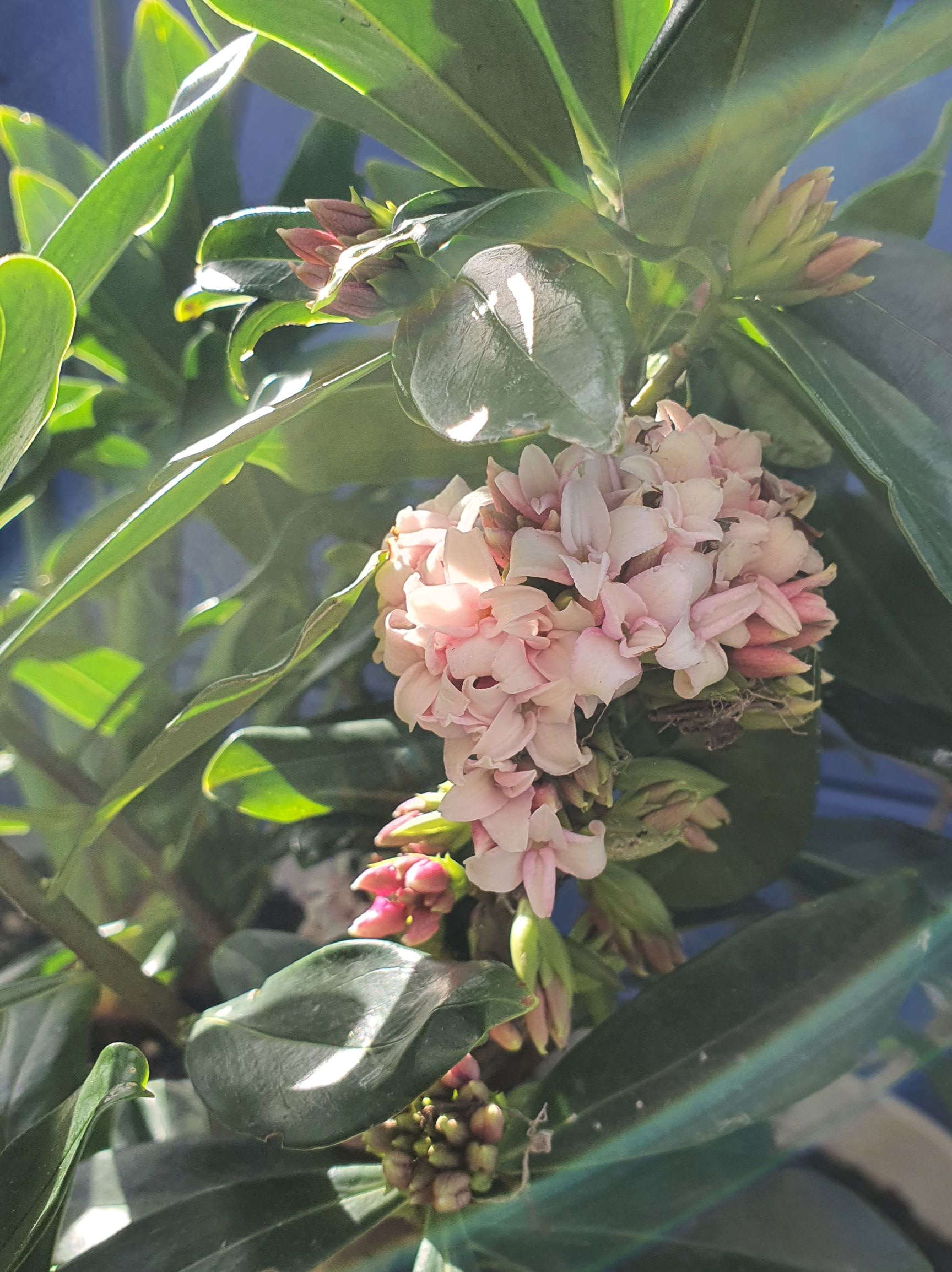 Daphne - a blessing in winter