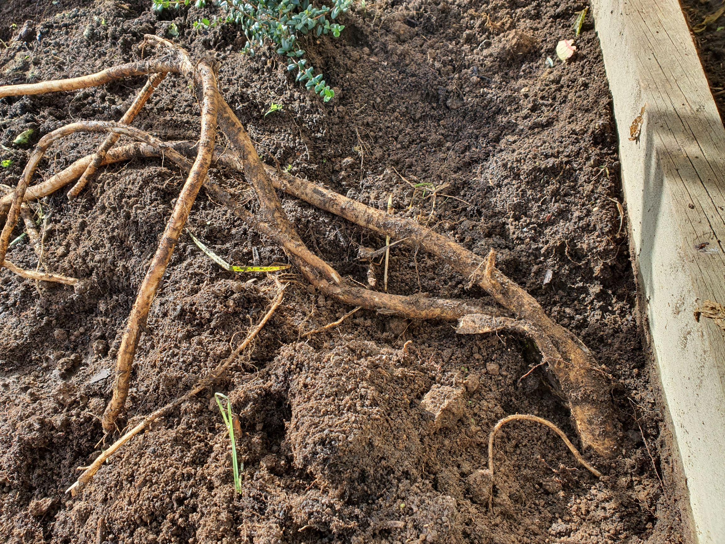Inkweed roots
