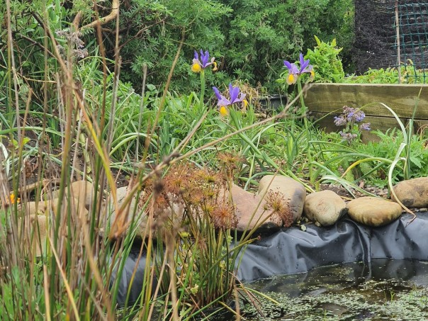 iris blooms by the pond